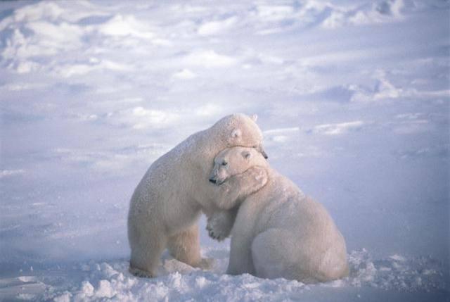 Polar Bear Hug