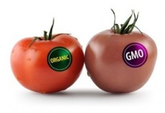 tomato gmo