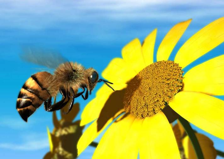 "President Putin Cracks Down On Rothschild Goons John Kerry & Barry Soetoro: Monsanto's ""Bee Apocalypse"". Honey-bee-fly-flower-fight-daisy-wings-photo"