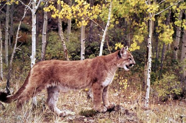 mountain lion