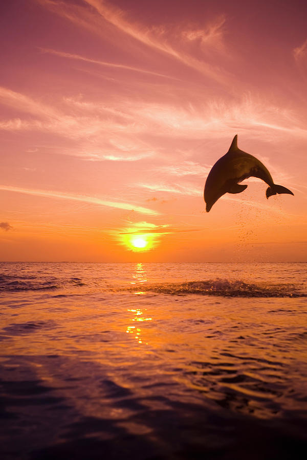 Dolphin Jumping Out Of Water At Sunset