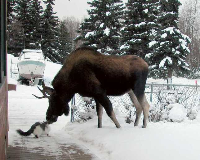 cat moose