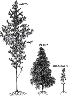 Three Genus Of Cannabis