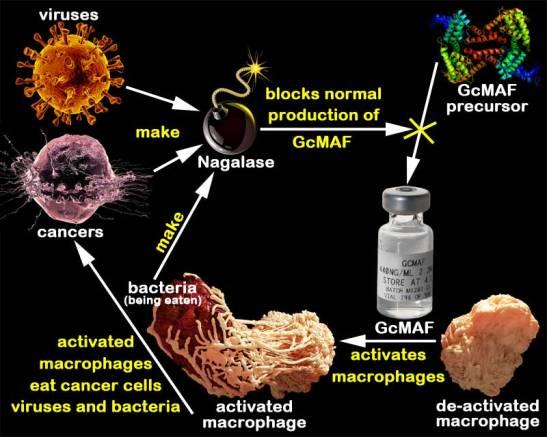 GcMAF-cycle