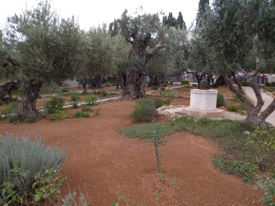 The Garden of Gethsemene, at the base of theMt. of Olives, where Jesus prayed on Thursday night with his disciples (and where they fell asleep).