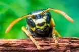 brazilian wasp